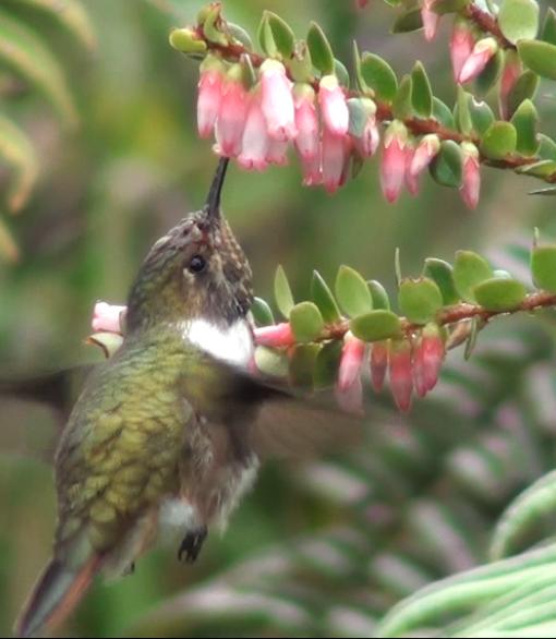 Varias especies de ericáceas como Disterimga humboldtii son muy frecuentadas por colibríes en los bosques de tierras altas